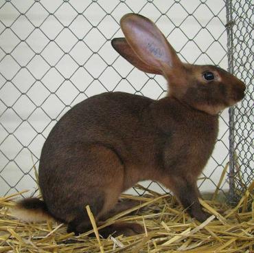 خرگوش وحشی بلژیکی