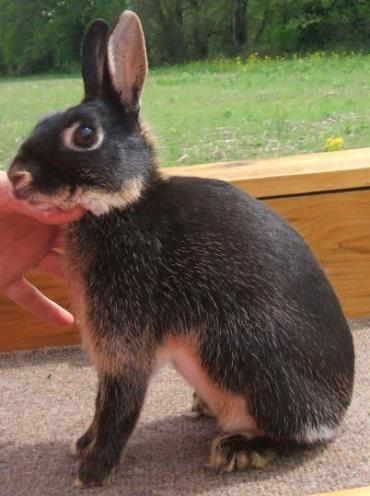 خرگوش بریتانیایی کوچک