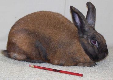 خرگوش دارچینی
