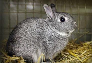 خرگوش چین چیلا