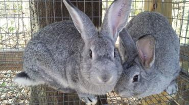 خرگوش امریکن چین چیلا