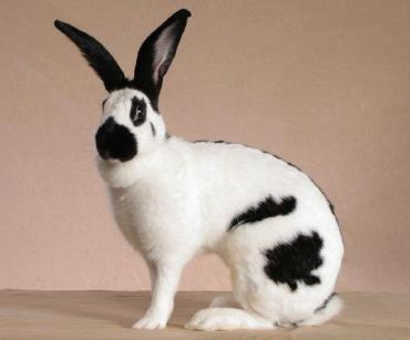 خرگوش امریکن چکرد غول پیکر