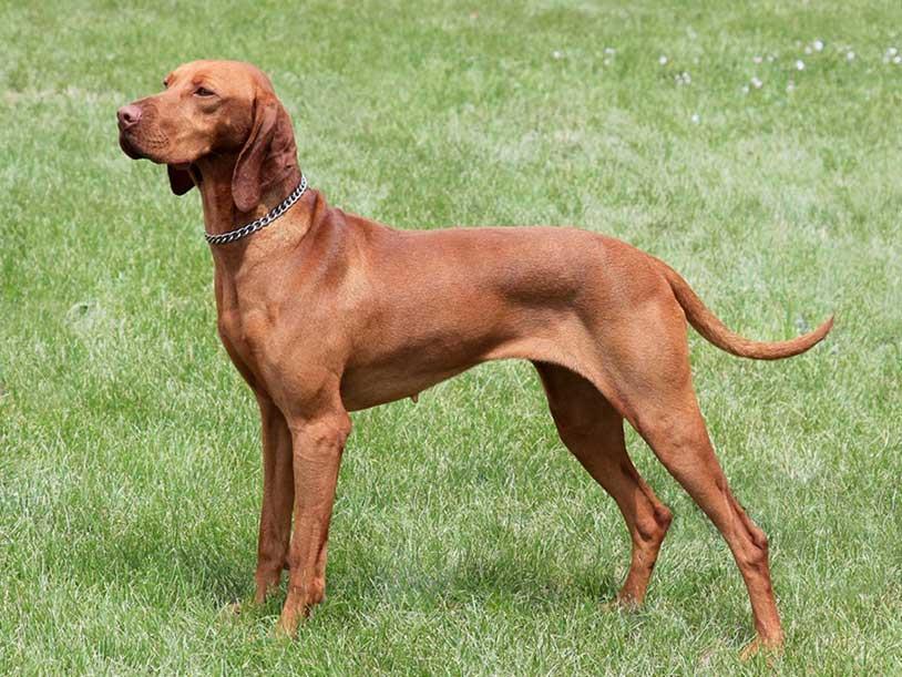 سگ نژاد ویشلا (Vizsla)