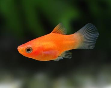 ماهی پلاتی قرمز