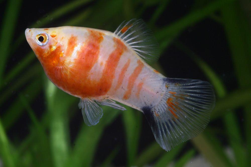 ماهی پلاتی یاقوتی تایگر (Tiger Ruby Platy)