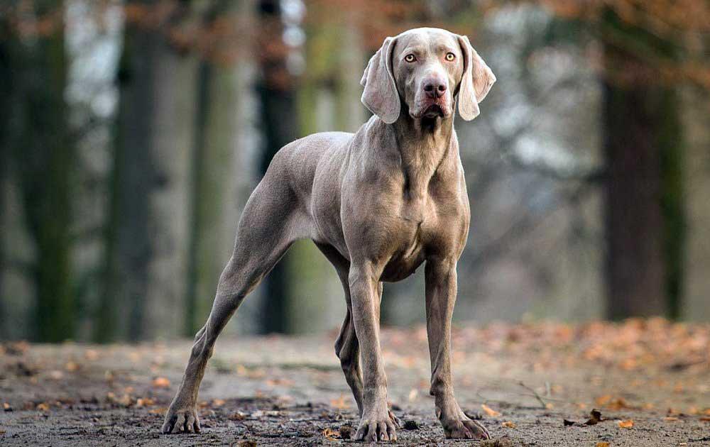 سگ نژاد وایمارینر (Weimaraner)