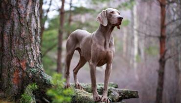 تاریخچه سگ نژاد وایمارینر