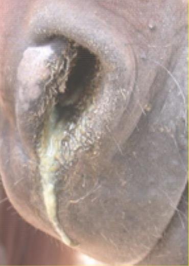 ترشحات بینی در پنومونی اسب
