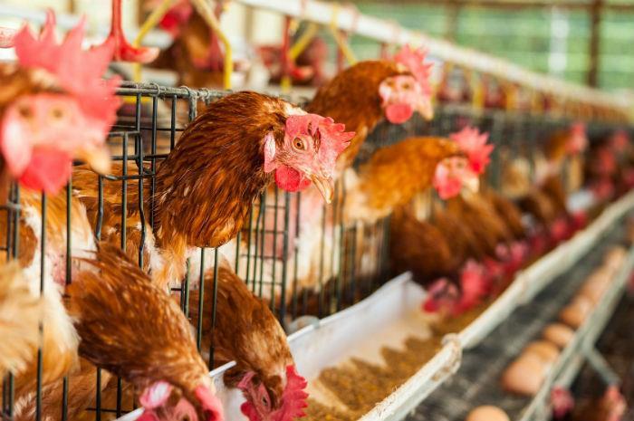 توازن پایه اسید در مرغهای گوشتی