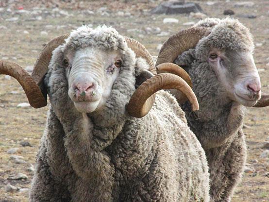 گوسفند نژاد رامبویه (Rambouillet)