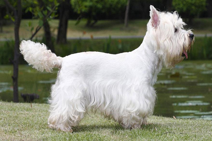 سگ وست هایلند وایت تریر