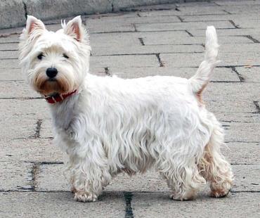 تاریخچه سگ وست هایلند وایت تریر