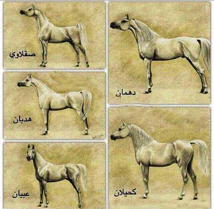 معرفی تیرههای اسب اصیل عرب