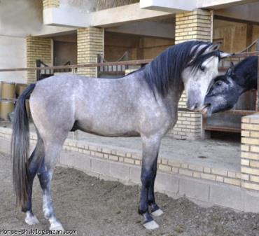 اسب کحیلان