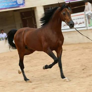 اسب صگلاوی