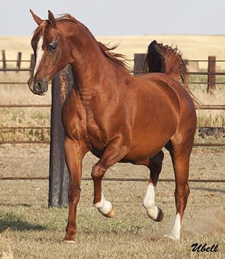 اسب حدبان