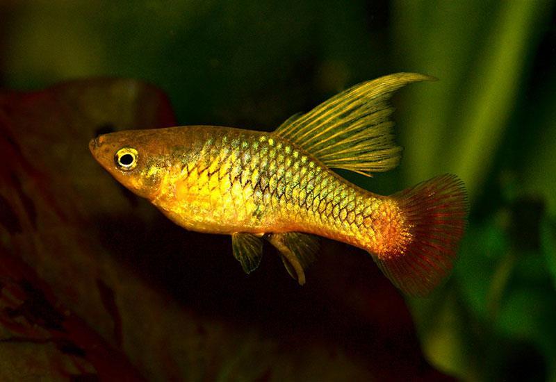ماهی پلاتی باله بلند (Hi Fin Platy)