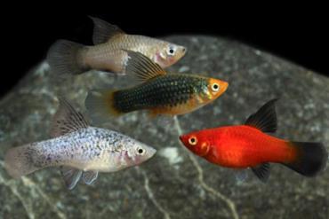 نگهداری ماهی پلاتی باله بلند