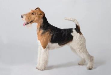 تاریخچه سگ  نژاد وایرهر فاکس تریر