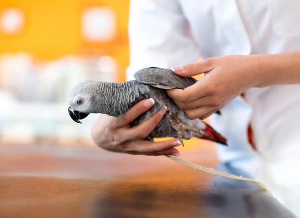 بیماری پاچکو (Pacheco) در پرندگان