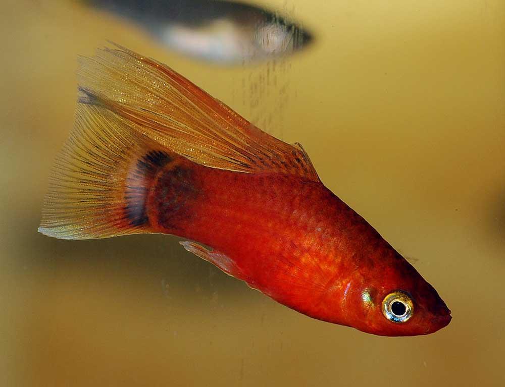 ماهی پلاتی بادبان باله