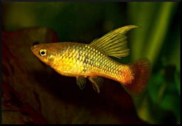 نگهداری ماهی پلاتی بادبان باله