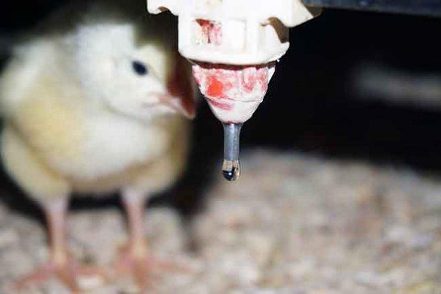 بهداشت آب آشامیدنی مرغها