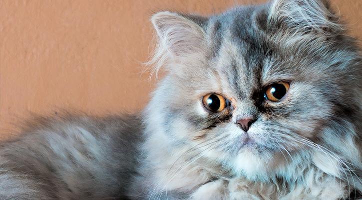آشنایی با تاریخچه گربههای ایرانی
