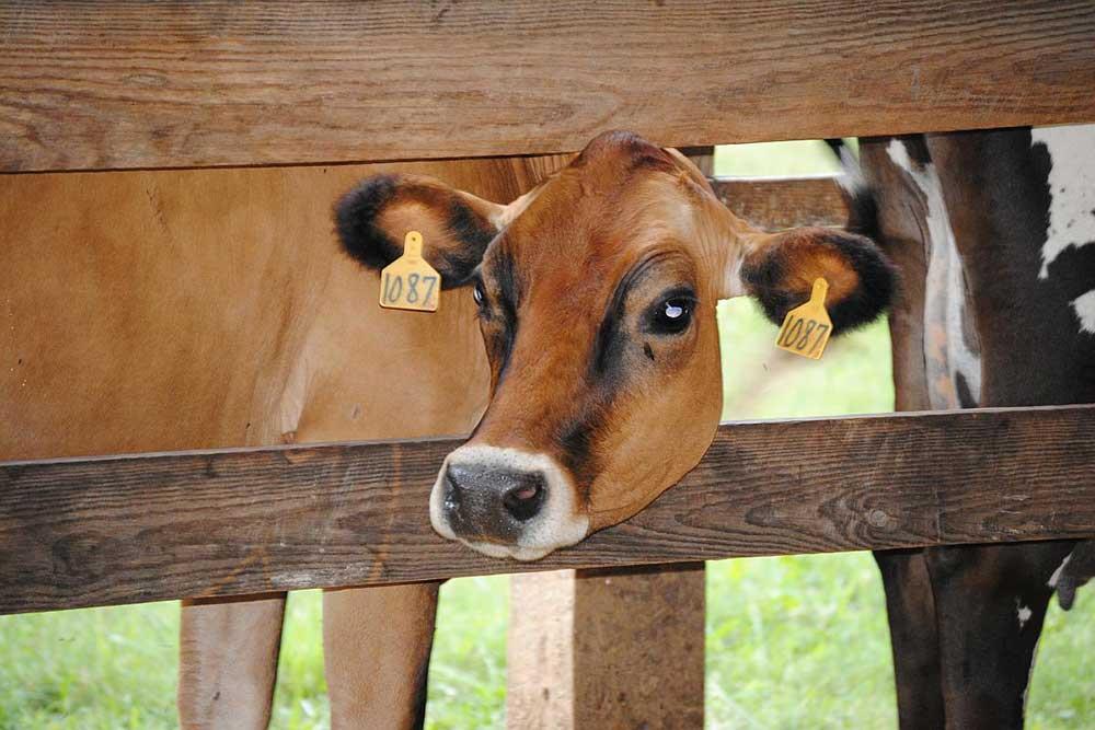 اندومتریت (Endometritis) در گاو ماده