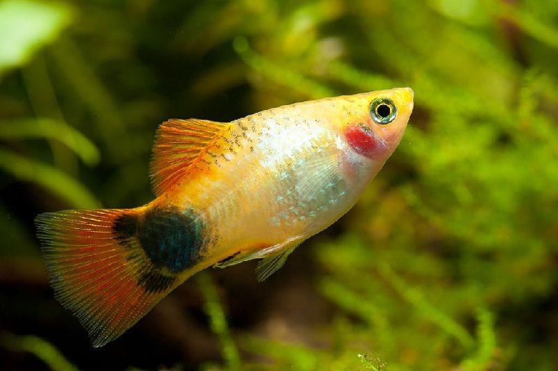 ماهی پلاتی میکی موس