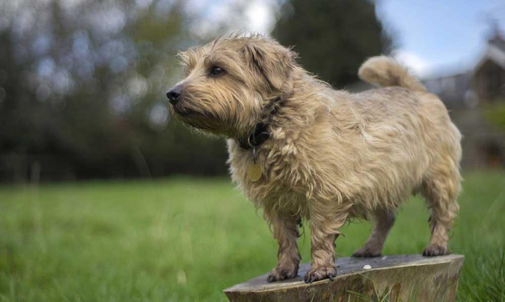 سگ نژاد نورفولک تریر (Norfolk Terrier)