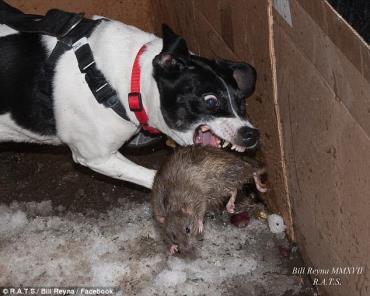 مشکلات و سلامتی سگ رت تریر