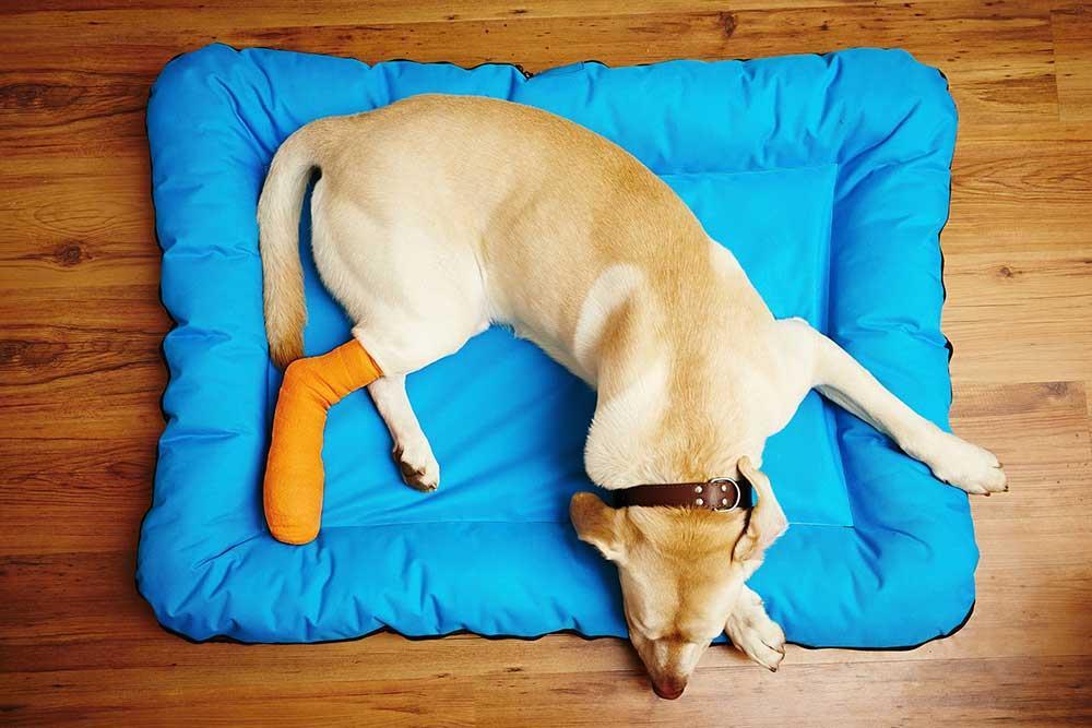 دررفتگی کشکک زانوی سگ (patella luxation)