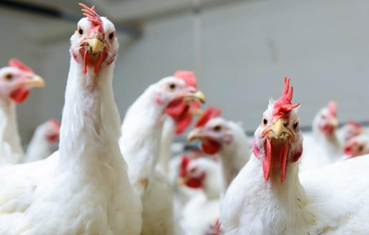 تأثیر پروبایوتیکها روی رشد مرغهای گوشتی