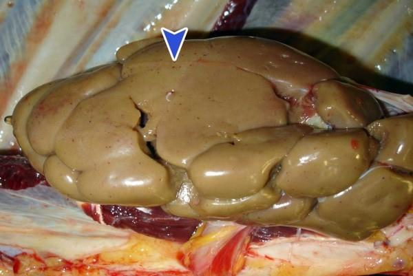 آمیلوئیدوز (amyloidosis) یا سندرم نفروتیک در دام