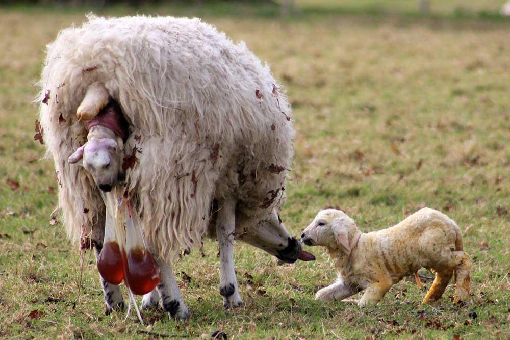 اداره کردن میشها در هنگام زایش (Lambing Management)