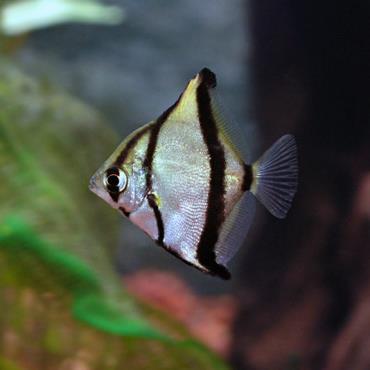 خصوصیات ماهی آنجل مونو