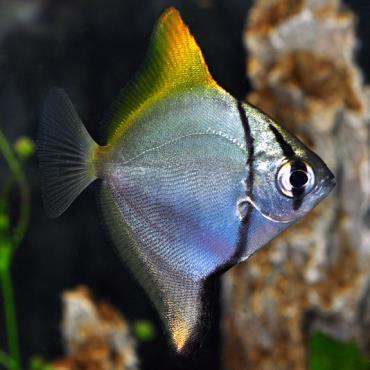 تکثیر ماهی آنجل مونو