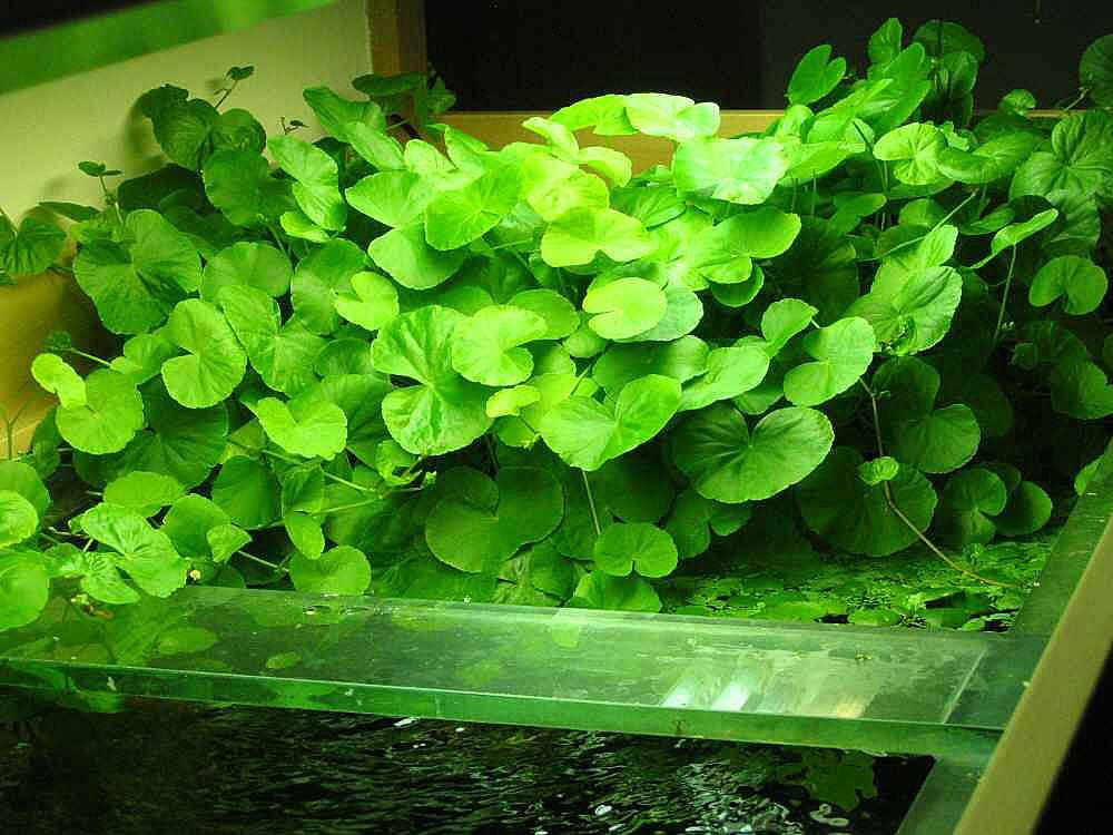تزئینات و گیاهان آکواریوم گیاهی