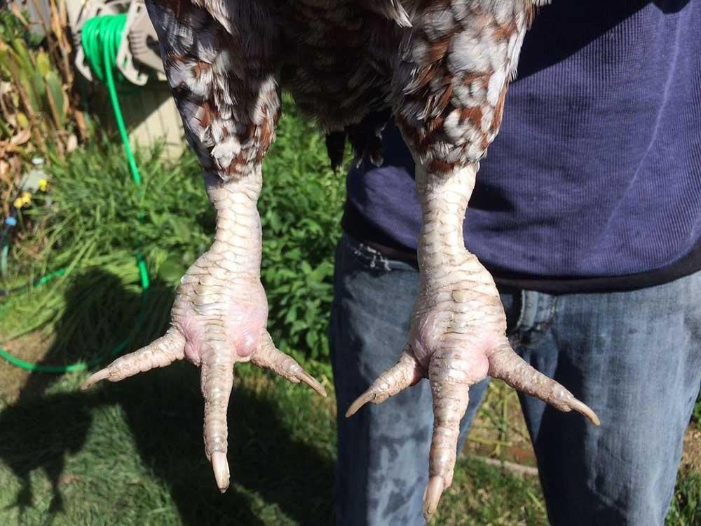 روشهای تشخیص درگیری پرندگان با مایكوپلاسما سینویا