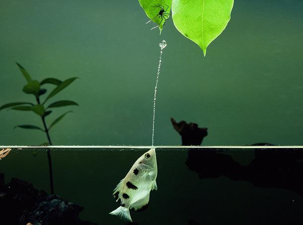 ماهی تیرانداز (Archer Fish)