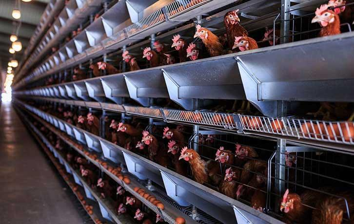 15 نکته اساسی برای دستیابی به توان تولید در مرغداریهای مدرن