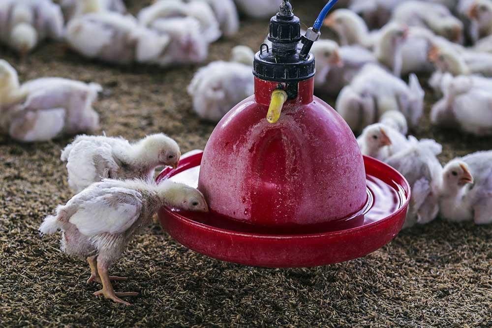 آب آشامیدنی مرغها (بخش نخست)