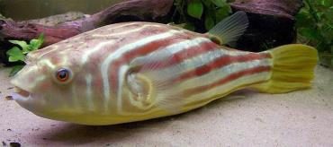 خصوصیات ماهی فاهاکا پوفر
