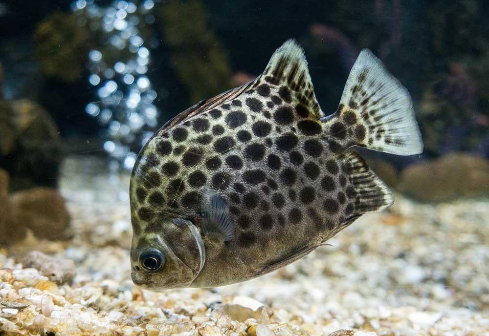ماهی اسکات (scat fish)