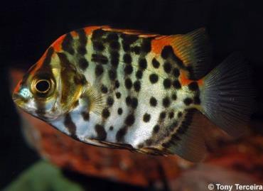 خصوصیات ماهی اسکات