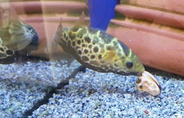 خصوصیات ماهی توپاز پوفر