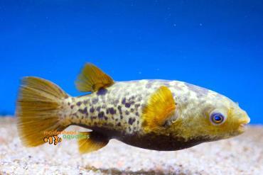 نگهداری ماهی توپاز پوفر