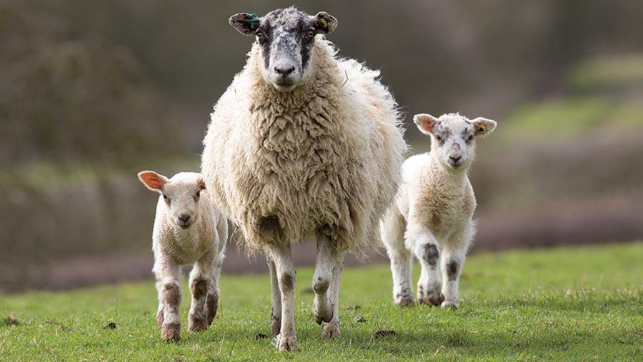 راهکارهای فیزیولوژیکی افزایش باروری در گوسفند