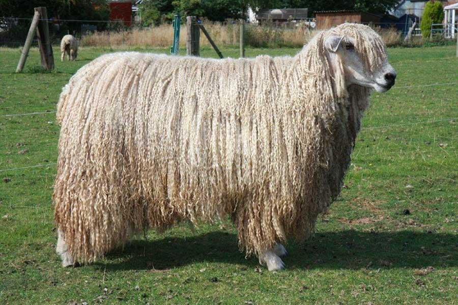 گوسفند لستر پشم  بلند (Leicester Longwool)
